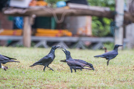 corvidae: Raven or crow classified in the phylum chordate layer poultry bird species in the genus Corvus in the Corvidae (Corvidae). Distribution of species around the world. Stock Photo