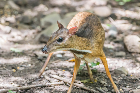 cervus: Deer are wild animals in the wild. Food is typical grass Usually found in grasslands Turrets.Good a natural Shineys Stock Photo