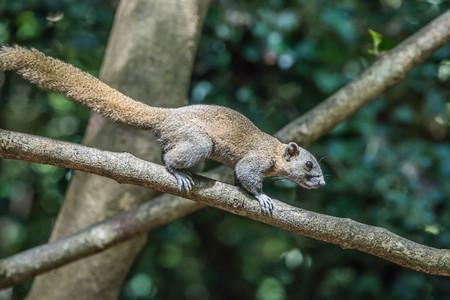 ardilla: Ardilla es un mamífero. Un tamaño corporal pequeño Shaggy cubre todo el cuerpo con ojos negros, se hincha cola espesa se clasifican como roedores en la familia Sciuridae.