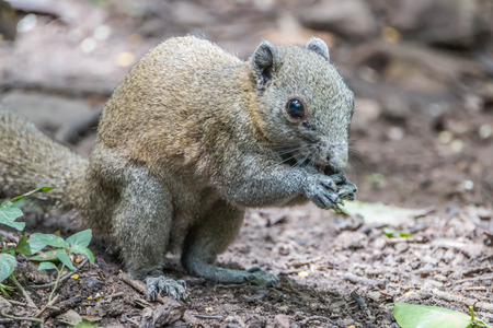 Squirrel is a mammal. A small body size Shaggy covering the whole body with black eyes, bushy tail swells are classified as rodents in the family Sciuridae.