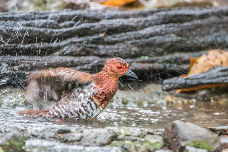 birdwatcher: Poultry or birds (including chickens, ducks, geese, pheasants) are in the phylum Chordate class Aves is a common feature.