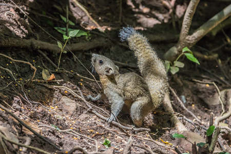 swells: Squirrel is a mammal. A small body size Shaggy covering the whole body with black eyes, bushy tail swells are classified as rodents in the family Sciuridae.
