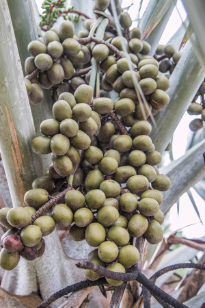 12 13: Palm oil is a vegetable palm trunk single. The trunk measures about 12 -20 inches at the age of 1-3 years will be covered by the base of the leaf stem.