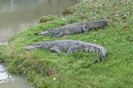 predators: Gators hold the animal at the top of the food chain ah. Because of the large carnivorous predators. That no natural enemies Except in young alligator The food becomes larger. Stock Photo