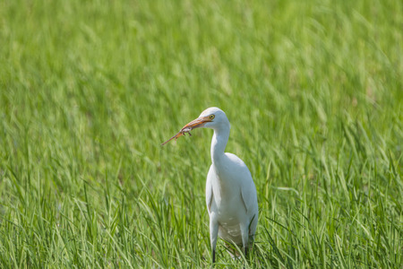 Pelicans are large water birds with long necks and legs. Often found wandering food or water standing on the grass or plants. I used to catch small mouth, long pointed or insects.