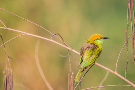 Ricebird a healthy mouth, the mouth cape short pull the pecking insects. Then figure out the different plants from grains to eat meat. It was also used tear the grass, palm leaf variety.