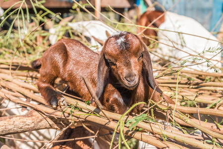 hircus: Goats (Scientific name: Capra aegagrus hircus) is a subspecies of goat taming of wild goats in southwest Asia and Eastern Europe Stock Photo