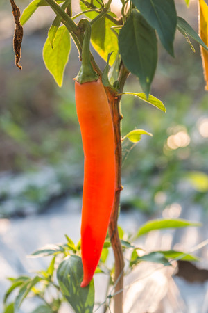 The genus Capsicum pepper plants in the family Solanaceae, which is a spice (spice) one. Nature botany. Chili is biennial plant with a single result.