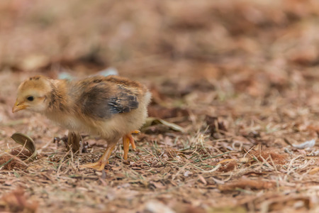 Chicken is classified birds. There are many scientific name Gallus gallus Wong fly short distances. Living under the ground Egg before hatching.