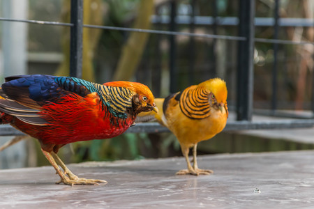 Pheasant is a common name for several species of birds, many currencies in phasianidae. (Phasianidae), usually in the subfamily Phasianinae.