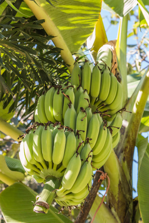 Banana plant species in the genus Musa are several species in the genus. Some shoots out but some of it is flat out shoots long petioles, lower long as the outer wrapping stacked trunk. Stockfoto