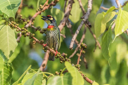 maybe: Asian barbet Nest in tree holes With wood drills a hole like a woodpecker. The birds of the same rank The cavity of Barbet will fit, making access to the nest, maybe not as much as a woodpecker. Stock Photo