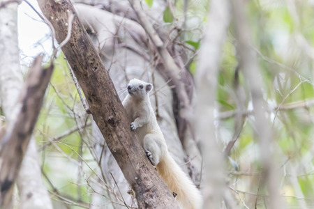 ardilla: Squirrel es un mamífero. Un pequeño tamaño del cuerpo lanudo que cubre todo el cuerpo con ojos negros, se hincha cola espesa se clasifican como roedores de la familia Sciuridae. Foto de archivo