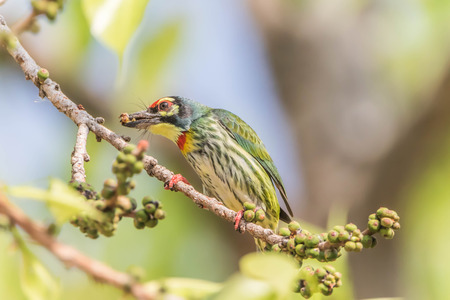 Asian barbet Nest in tree holes With wood drills a hole like a woodpecker. The birds of the same rank The cavity of Barbet will fit, making access to the nest, maybe not as much as a woodpecker. Stock Photo