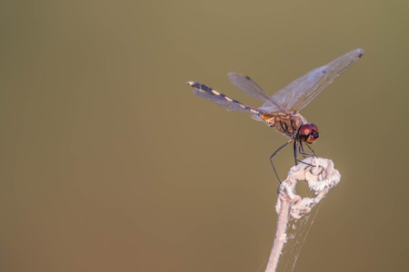 Dragonfly   is an insect larva lives in the water. Adult lives on land have wings to fly. Dragonflies are growing as a step types not perfect.