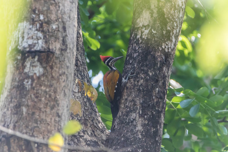 Woodpecker is a bird of a very unique place. It is the only bird that has a living tree hollow or cavity of trees.