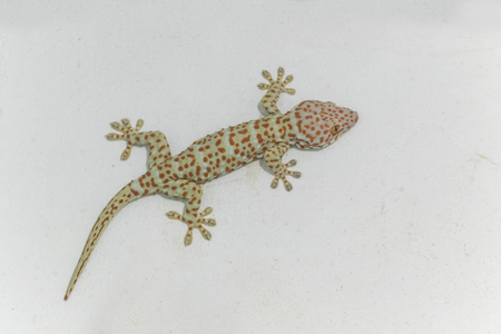 Geckos live in tropical Asia. Most of the colors and patterns on the body. Spawning time 2-7 eggs found in both houses of the people and the forest. Typically, more than 10 centimeters in length.