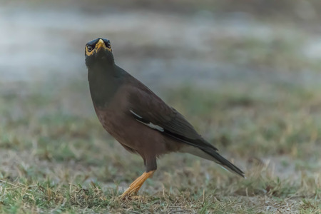 common myna bird: Acridotheres a genus of passerine single currency. Acridotheres that the family name in the ancestry acridotheres and starlings. Obesity Fort Bobtail