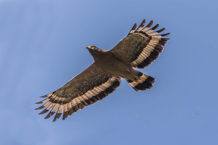Hawk is similar to an eagle, a bird of prey as well. But the Hawks are smaller than a hooked beak and sharp claws flying strong in spreading fast and wide long wings can fly or heat. Stock Photo