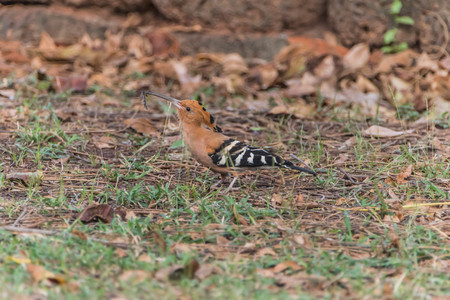 slightly: Hoopoe The length from the tip of the mouth to tail, about 30 cm long, very long, small head, mouth slightly curved and tapering. Lip color is black