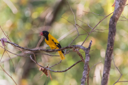 Oriole. The name of the species in the family Oriolidae acridotheres as many colors as yellow, red, blue, white, eat fruit and insects. A cup-shaped nest is not beauty high in many species.