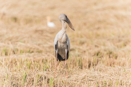 oscitans: Asian Openbill Scientific name: Anastomus oscitans held in the family Stork (Ciconiidae) is a small bird in this family.