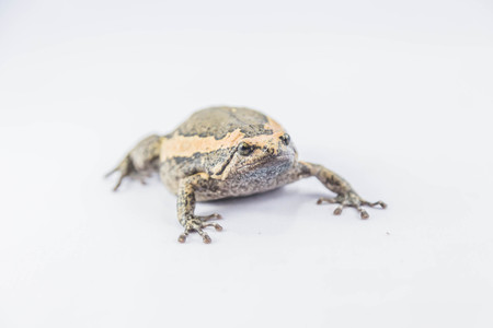 frog jump: Aegiag bullfrog or a genus of amphibian species of frogs in the genus in the family Kaloula bullfrog.
