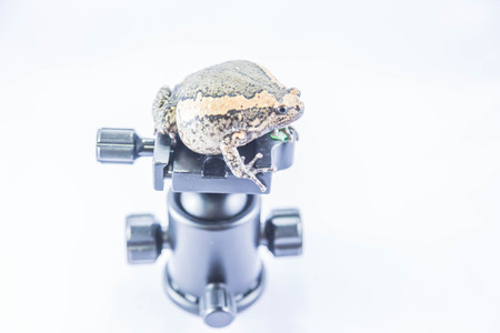 Aegiag bullfrog or a genus of amphibian species of frogs in the genus in the family Kaloula bullfrog.