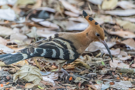 Hoopoe The length from the tip of the mouth to tail, about 30 cm long, very long, small head, mouth slightly curved and tapering. Lip color is black