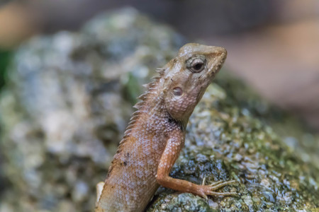 Most lizards are carnivorous. They eat insects and arthropods is. But for a family with such a large vertebrate with varanidae to eat