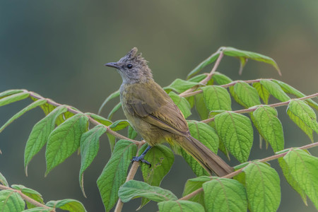 Bulbul is a family of birds for a small family. Classified under the birds sing A family that Pycnonotidae. A small bird with colorful different for each type. Stock Photo