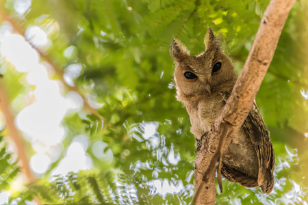 Owl or owl or owl Strigiformes bird is in a face like a cat. As the source of generic catch small prey such as mice.