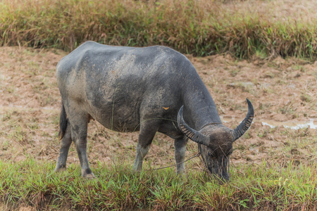 about age: Buffalo is an animal with four legs, hooves the size of adult cattle at the age of 5-8 years, adult males weigh on average 520-560 kg females average about 360-440 pounds. Stock Photo