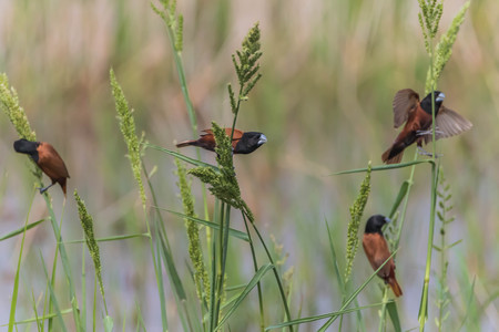 Finch is a small bird Orthotomus currency. From mouth to tail length of 12 cm together some small mouth, long legs taper.