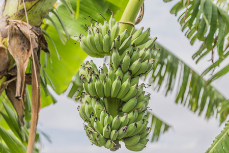 Banana plant species in the genus Musa are several species in the genus. Some shoots out but some of it is flat out shoots long petioles, lower long as the outer wrapping stacked trunk. Stock Photo