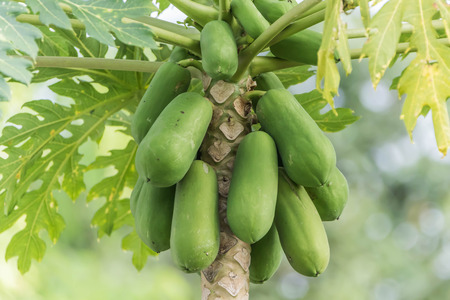 Papaya is a fruit of a height of 5-10 meters, are native to Central America. Was introduced into South East Asia, in the Ayutthaya period. The raw green Stock Photo