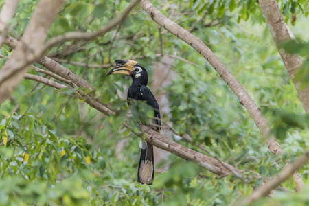 beautiful rare: Hornbills are birds that are now extinct, that another kind of a weird stylized nature than other birds such as a male, the female will mate with their own life. Stock Photo