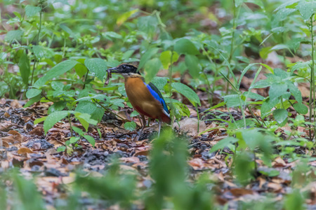 bough: Common Pitta bird The length of the mouth to the tip of the tail 20 cm short necked neck, short, thick mouth, strong mouth on the curve slightly down.