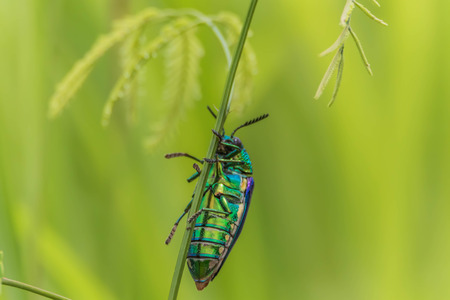 Insects over the forest in Thailand. There is no region where it can not live, its magnificent colors will last for more than 50 years to dissolve.