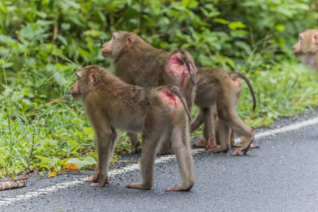 three Monkey or ape walking cross the road