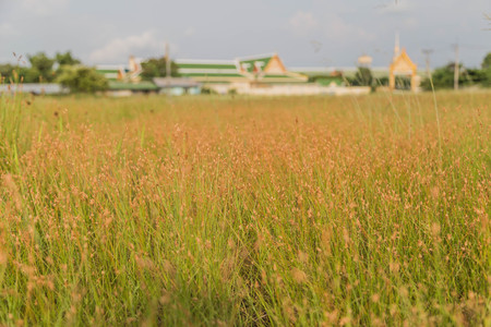 Meadow is an area where vegetation is mostly grass (Poaceae), but also found the plant Wong Reed meadows naturally occurring on all continents.