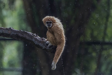 studio zoo: Gibbons classified in the phylum chordate. Floor mammal primate (Primates) is the ape. Stock Photo