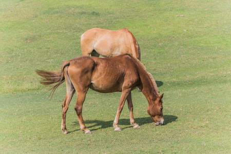 One of the two subspecies of Equus ferus, or the wild horses that still exists today. Mammal family Equidae horses hoof has evolved for more than a year of life 45-55000000 many small hoof.