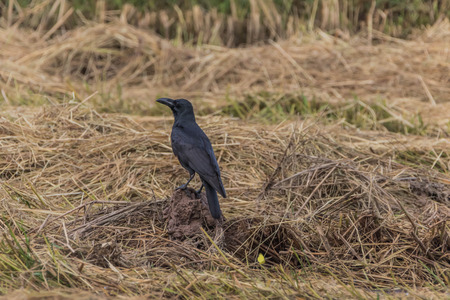 Raven or crow classified in the phylum chordate layer poultry bird species in the genus Corvus in the Corvidae (Corvidae). Distribution of species around the world. 스톡 콘텐츠