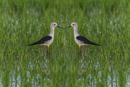 Some male birds have peaked and long straight black lips. Head and white body The wings and fuselage black top. Very long legs, red, pink Some may have a black head and neck styles vary.