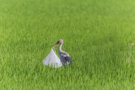 Asian Openbill Scientific name: Anastomus oscitans held in the family Stork (Ciconiidae) is a small bird in this family.