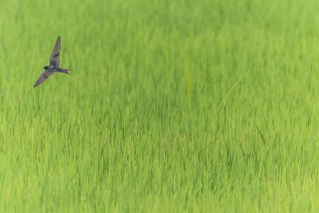 Magpie bird flying Reklamní fotografie