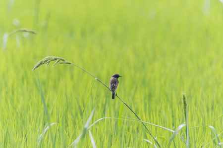 A small bird resting on a grain stalk while looking around for small insects for food