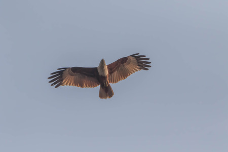 Hawk is similar to an eagle, a bird of prey as well. But the Hawks are smaller than a hooked beak and sharp claws flying strong in spreading fast and wide long wings can fly or heat. Banque d'images