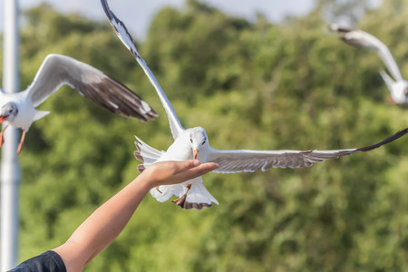 A bird with a medium A length of 46-47 cm is different from other types of gulls with large white stripes at the base of the wing feathers.